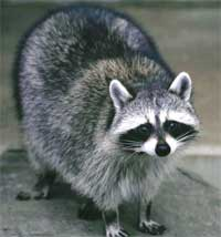 Raccoons can be trouble-makers!