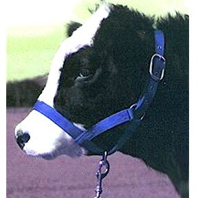Turnout Cow Halter - Blue - 1 in. Best Price