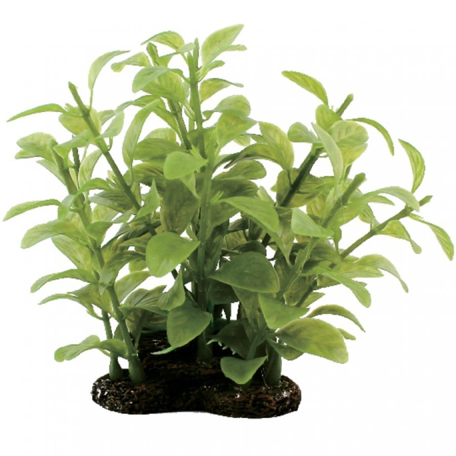 Tropical Elements Bacopa Australis - Green / 5 in. Best Price