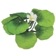 Broad Lily-leaf with Buds Aquarium Plant - Mini