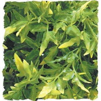 Plant Bolivian Croton Terrarium Plant